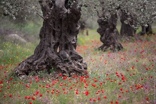 2000 year old olive trees & beautiful wildflowers  :)