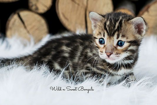 Brown Bengal Cat For Sale