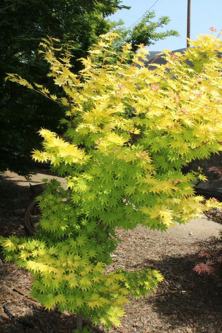 How to care for a fern leaf japanese maple - Jordan Japanese Maple Photo Taken At Quality Maples And More In Central California Qualitymaples
