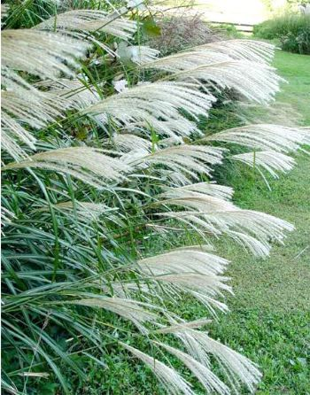 Japanese Silver Grass - the most lush and hardy ornamental grass of the types I planted.