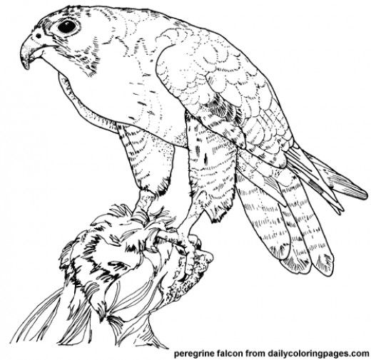 8 best bird of prey images on pinterest coloring books for Birds of prey coloring pages