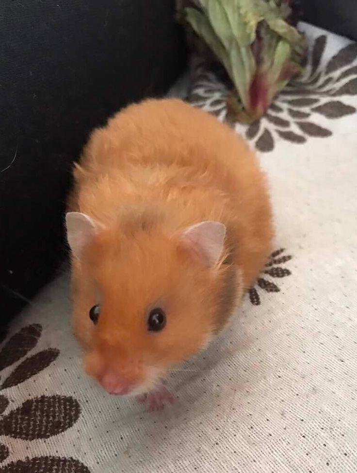 Bella, Syrian hamster