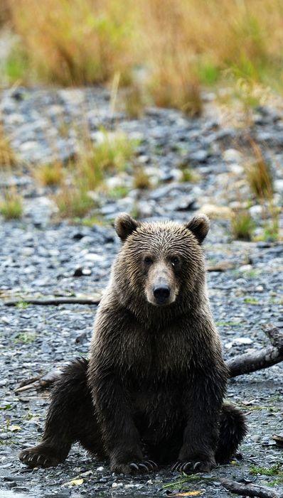 Ours brun sur l'île de Kodiak, en Alaska (Etats-Unis) / Source : Communauté photo GEO, © Jean-Marie Seveno