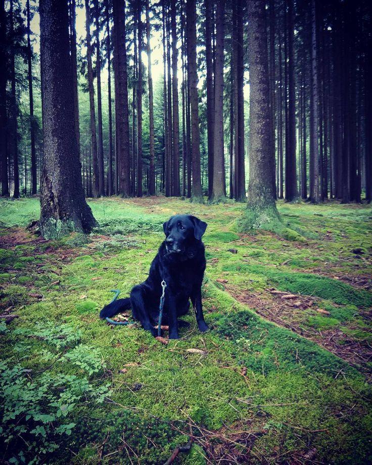 Guarding  #myoldboy #grandpa #forest #woods #nature #rainforest #guarddog  #monitoring #dog #labrador #petersaccessories