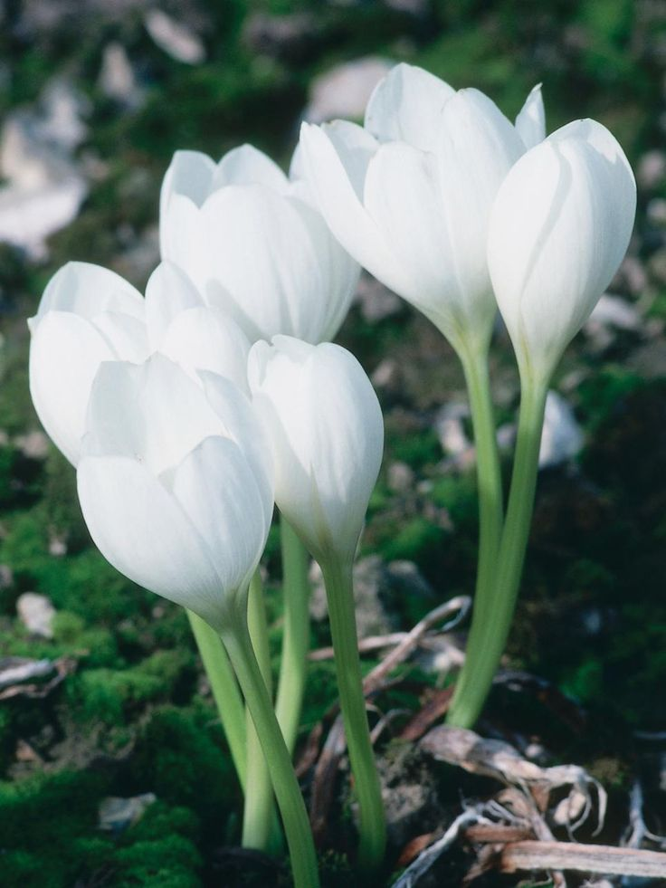 ~ SUMMER & FALL CROCUS ~ These blossoming bulbs have a high ratio of flower to foliage, perfect for summer and fall color.