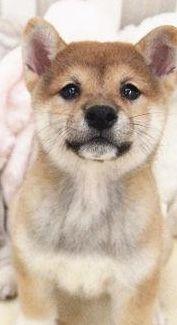 Shiba Inu puppy for sale in SAN JOSE, CA. ADN-51924 on PuppyFinder.com Gender: Female. Age: 11 Weeks Old