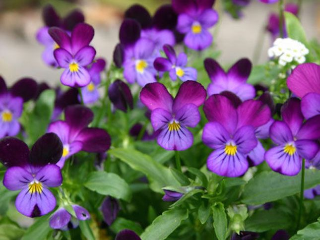 14 of the most colorful house plants that are hard to kill shade flowersshade plantspurple