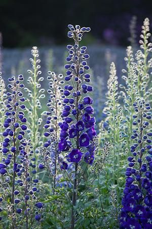 Delphinium 'King Arthur' | cut back Delphs in July for a later, second showing