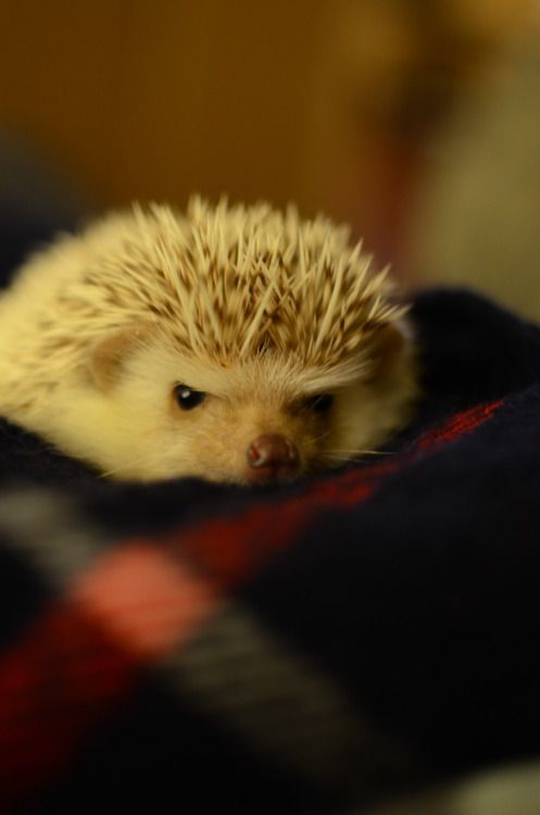 The African Pygmy Hedgehog is classed as Exotic Animal and is allowed to be kept as a pet. They are lovely animals, however, some tend to be little grumpies.