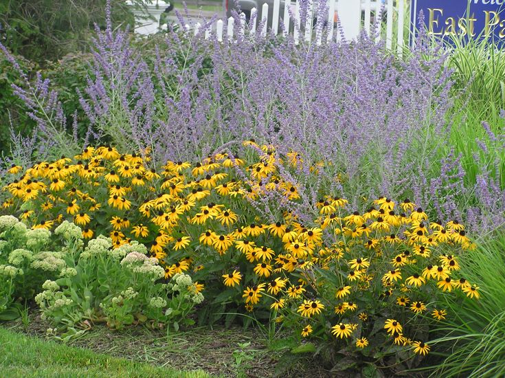 Russian sage and black eyed susan beach grass for Large grasses for gardens