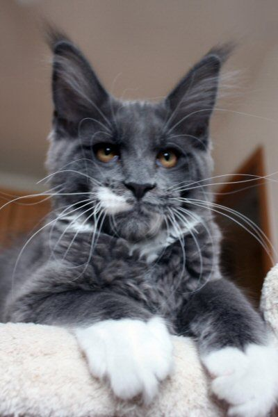 Elphinstone Maine Coon Cats