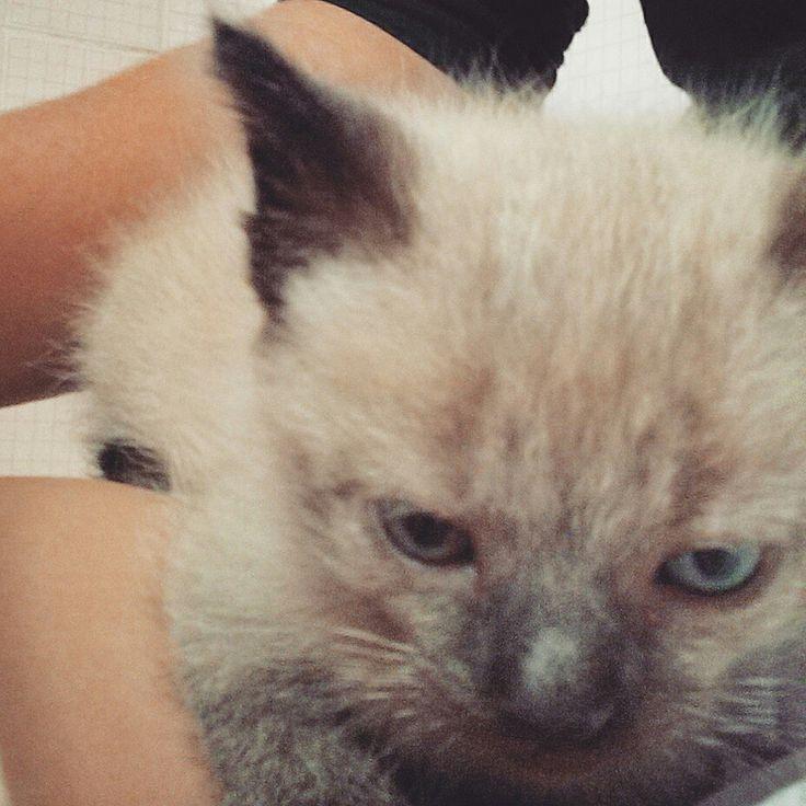 Cara de rabugento. / Gato Siamês