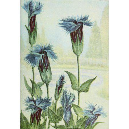 Garden Flowers 1926 Gentian Canvas Art - Myron Van Brunt (18 x 24)