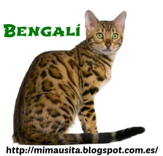 Bengalí: el gato leopardo