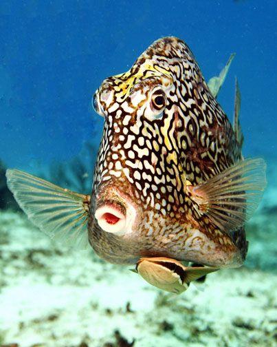 Honeycomb Cowfish.
