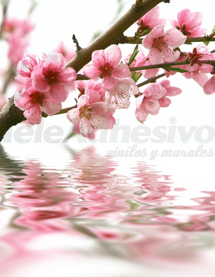 Fotomurales: Almendro en flor 1