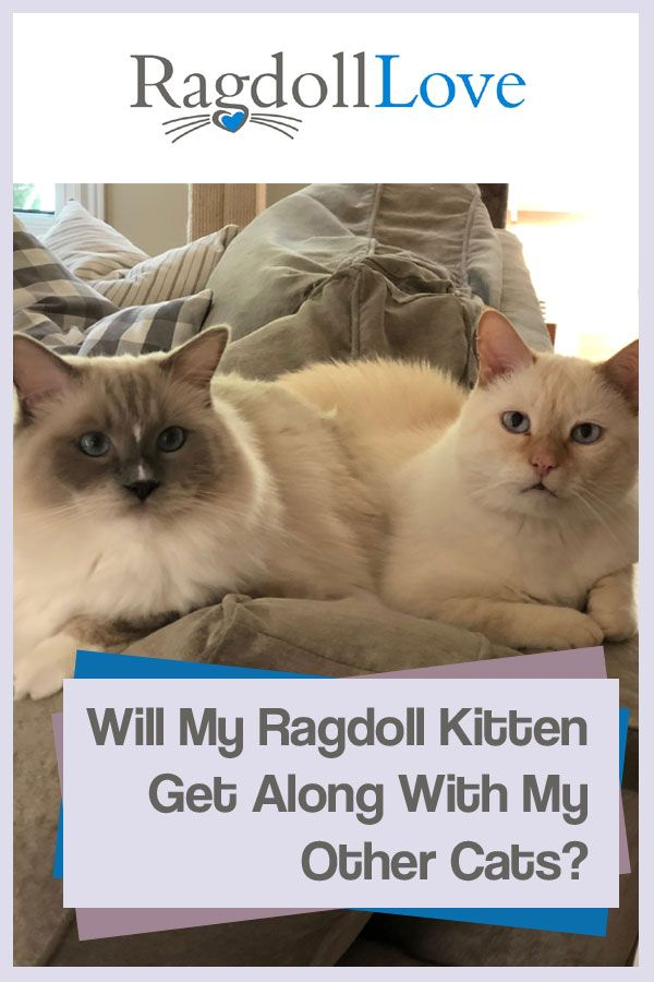 Simple Steps For Introducing Your Ragdoll Kitten To Your Other Cats Cats Cats Kittens Kittens