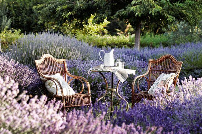 Afternoon tea is served amid rows of fragrant lavender at Carol White's Lavandula Swiss Italian Farm.