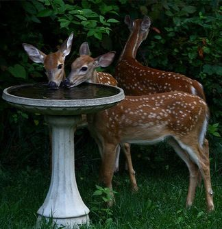 You never know what you'll find at the back yard bird bath. #Deer #Fawn