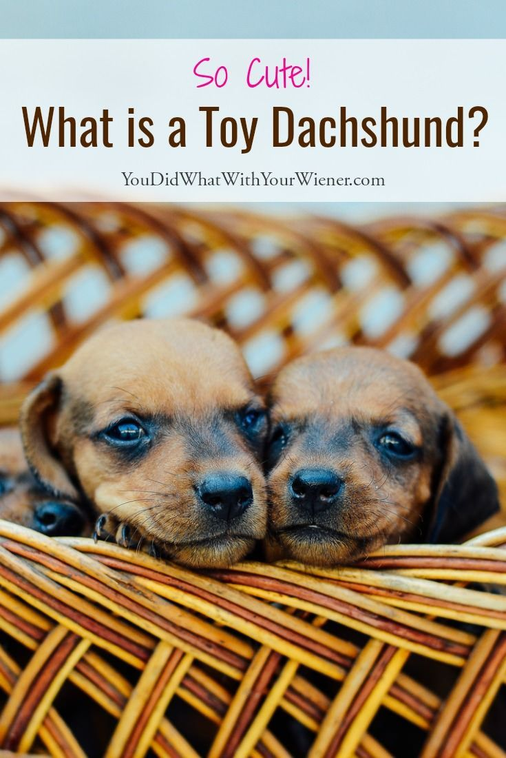 What Is A Toy Dachshund Toy Dachshund Dachshund Dachshund Breed