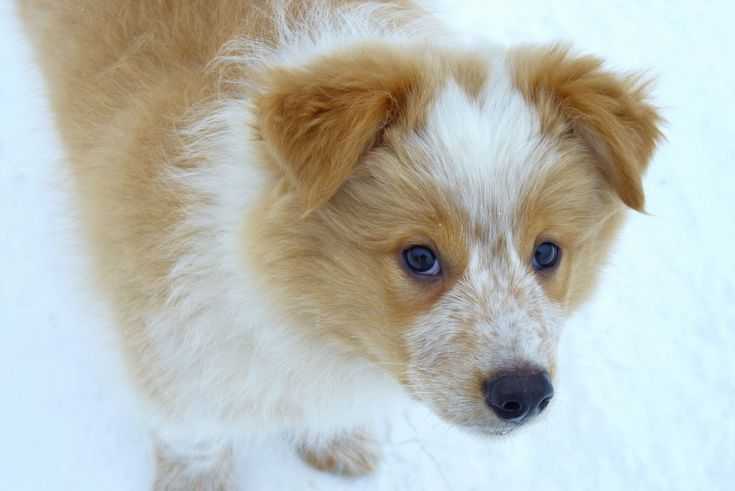 Border Collie Australian Shepherd Mix | Border Collie-Aussie Mix ...