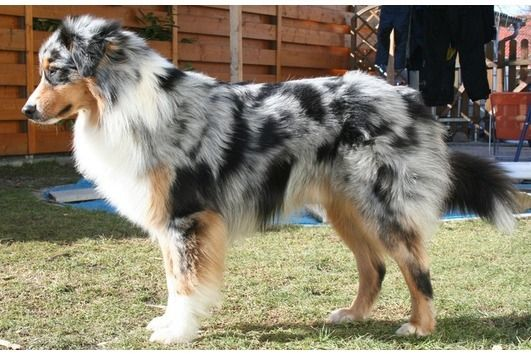 Australian Shepherd with a natural full undocked tail :)