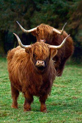 for my dream farm :D long haired long horns