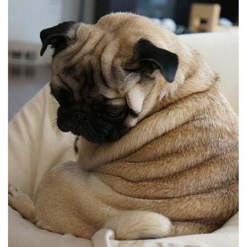 Is that a cinnamon roll? pug-some!