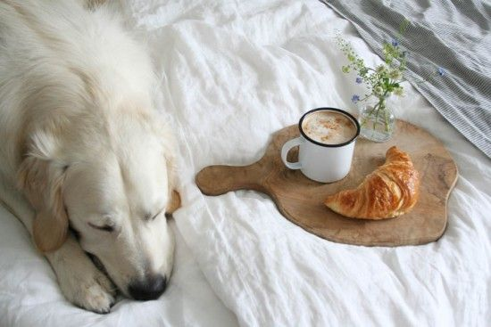 Otto the golden retriever snoozing on his Loaf Lazy linen beside breakfast in bed @aptapothecary
