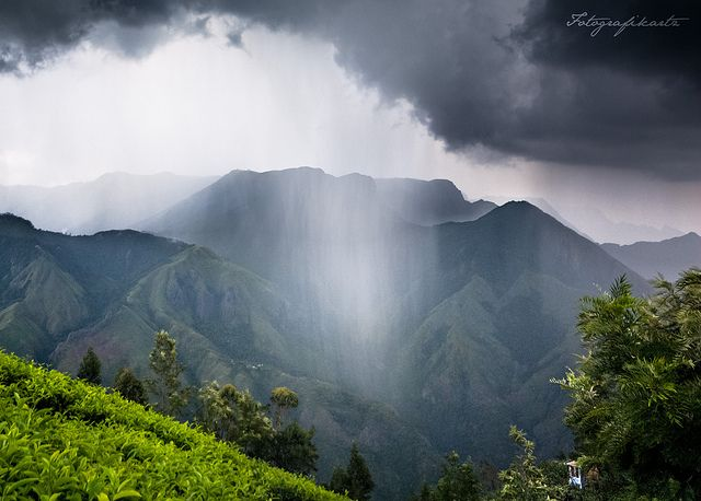 Nature's Theatre - Selective rain showers  Kothagudi Tea Estate, Kolukkumalai, Bodi Dist. Tamilnadu - Kerala border
