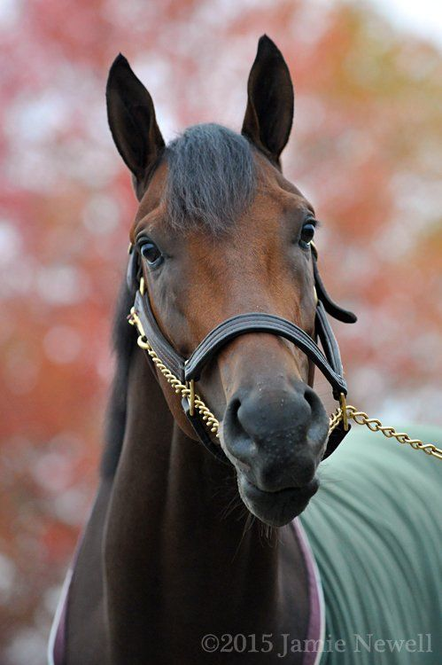 Nyquist the morning after winning the Breeders' Cup Juvenile at Keeneland.