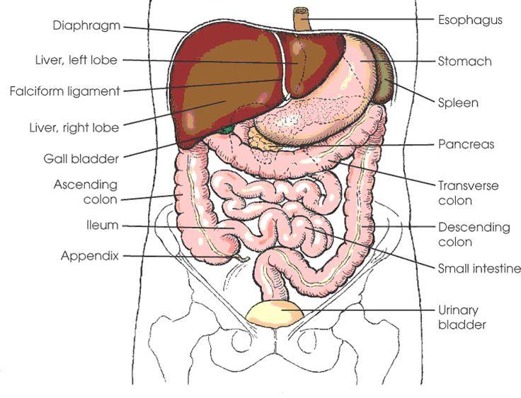 Abdominal Organs Diagram