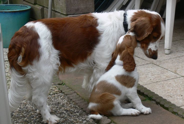 Welsh springer spaniel puppies for sale & puppy breed info, The welsh springer spaniel is compact and muscular.