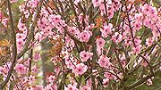 Prunus x blireana One of the best spring blossom trees, Prunus x blireana is a cross between the Japanese apricot…