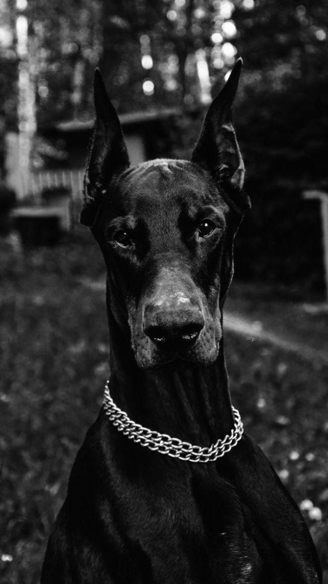 Tvoi Oboi In 2021 Doberman Dogs Scary Dogs Black Doberman Cool black dog wallpaper for iphone