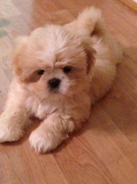 Adorable little 10 week old male Shih Tzu puppy