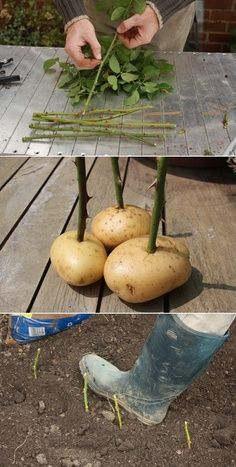 """""""Possibile??? My neighbour has a row of roses, which he took as cuttings. I asked how he took them. He simply plunges the cuttings into the ground. But his secret of success is the humble potato! Before planting cuttings, he pushes the bottom end into a small potato, which he believes keeps the cuttings moist as they develop roots. It sounds crazy, but his row of allotment roses is proof it works."""""""
