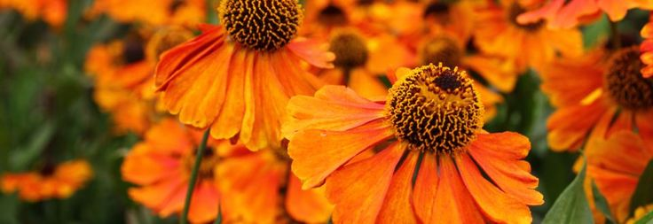 Plant Ident - Helenium 'Sahin's Early Flowerer'