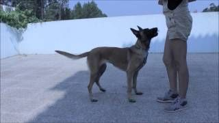 Working with a Malinois teaching the sit pretty Claudia Estanislau - YouTube