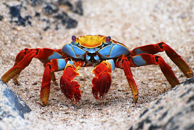 Sally Lightfoot Crab from the Galapagos Islands