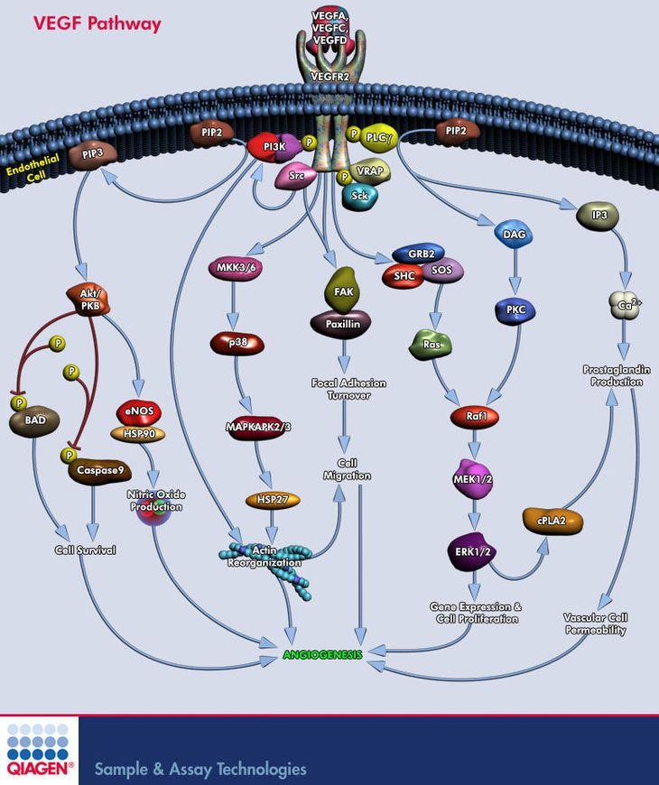 Aktywność fizyczna a geny część II – układ sercowo-naczyniowy - Artykuły - Biotechnologia.pl - łączymy wszystkie strony biobiznesu