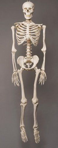 11 best beautiful bones images on pinterest | skeletons, medicine, Skeleton