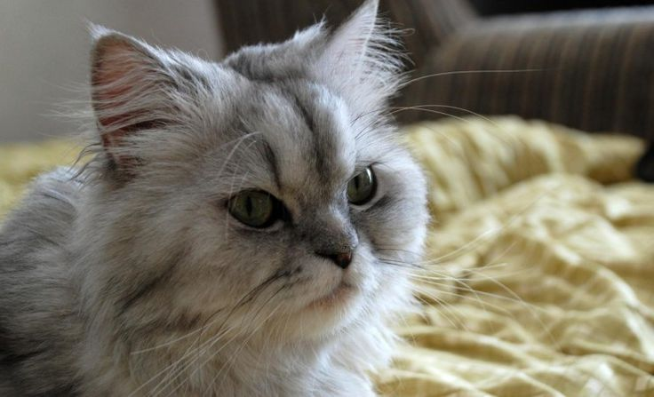 Persian Cat Information You Should Know, Cat Breds