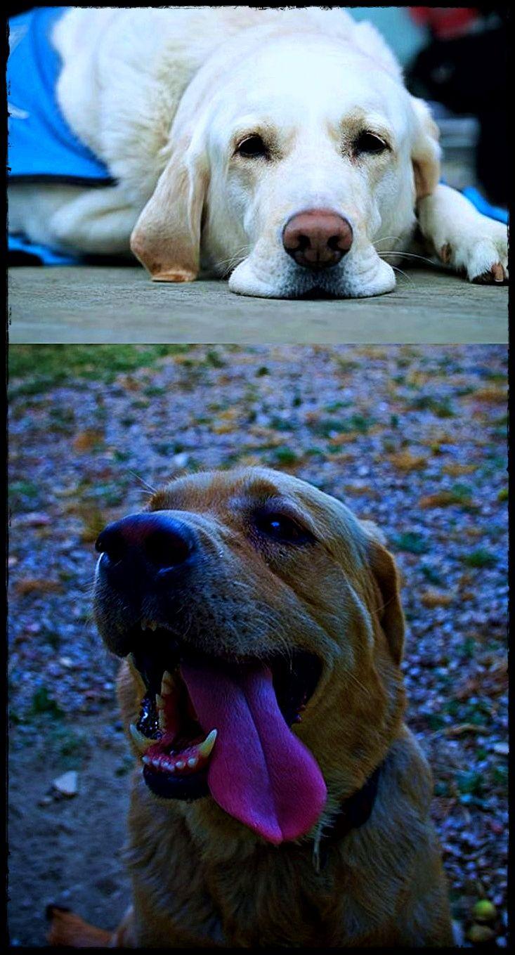Labrador Puppies Wiltshire Mush Have Labradorpuppiesforsalesuffolk Labradoreatingstones Labradorowners With Images Retriever Dog Labrador Retriever Retriever