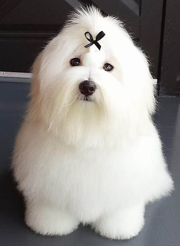 French Dog Breeds Coton