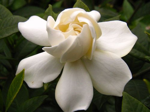 Gardenia. The best smelling flower in the whole world!