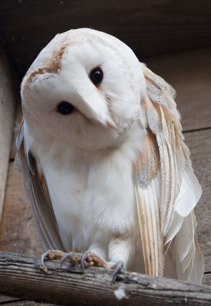 All sizes | Shuttleworth Birds of Prey-1451 | Flickr - Photo Sharing!
