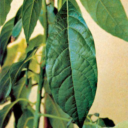 Pestovanie exotických rastlín – avokádo