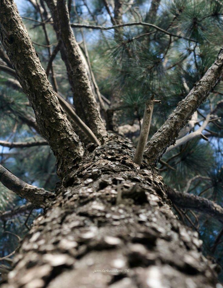 Up the pine tree  Farm Photography Mpumalanga South Africa