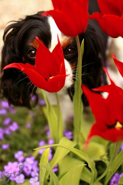 Stopping to smell the tulips!    .......cavalier king charles